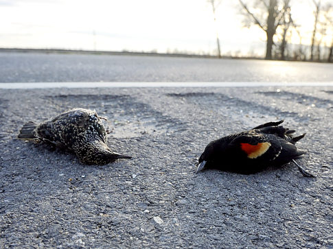 Dead Birds in Louisiana